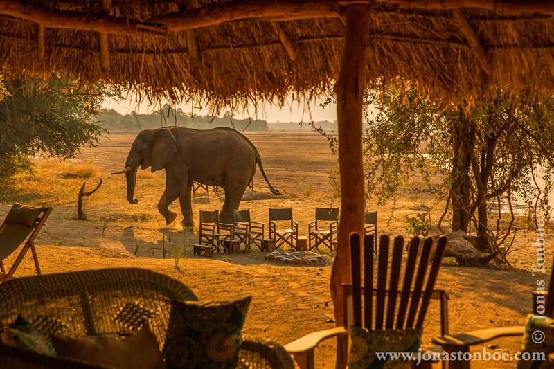 African Bush Elephant in Island Bush Camp