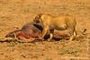 Lion at Hippopotamus Kill