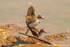 Three-banded Plover aka Three-banded Sandplover Mating