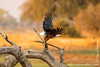 African Fish Eagle in Flight
