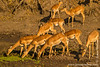 Impala Drinking From a Waterhole