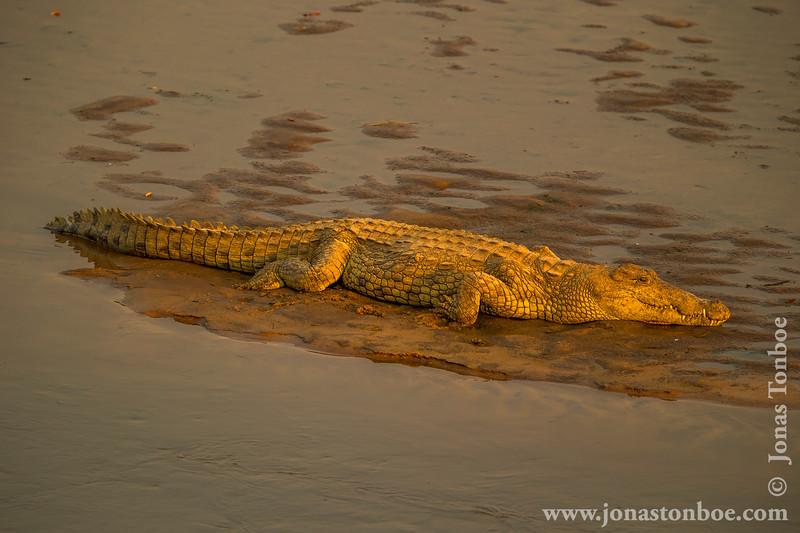 Nile Crocodile in Luangwa River