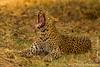 Female Leopard Yawning