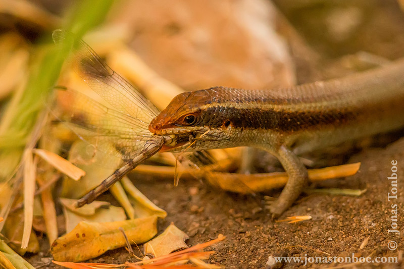 Skink Eating a Dragonfly