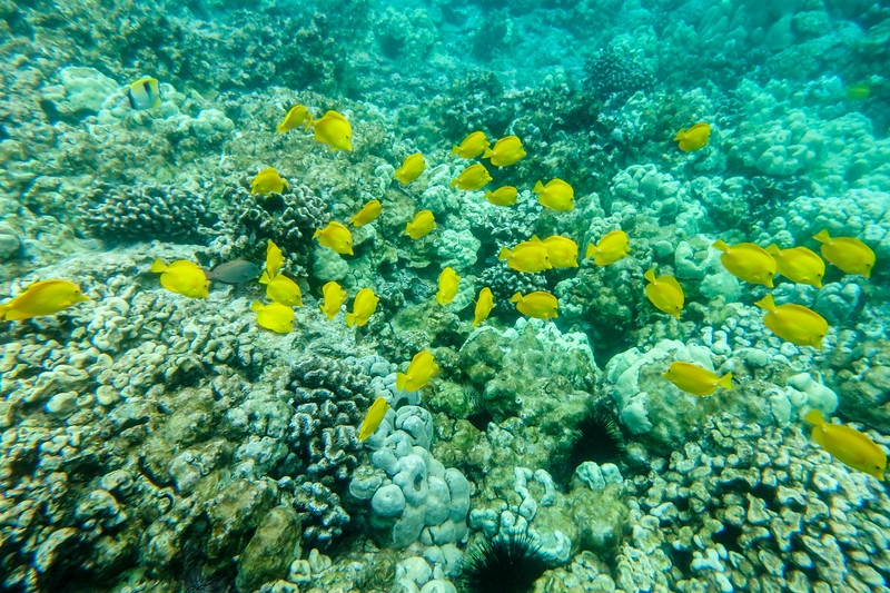 Yellow Tangs gave the Kona Gold coast its name. Snorkeling  Kealakekua Bay, Kealakekua, HI