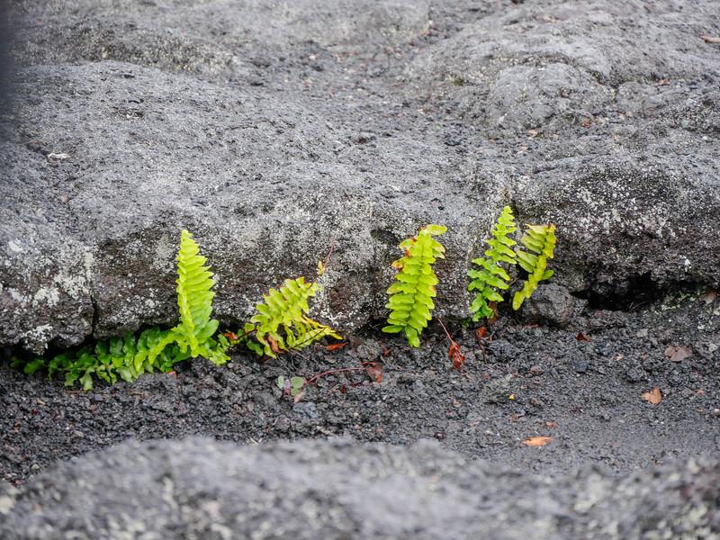 Life finds a way, Mauna Ulu, Volcano National Park.