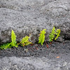 Life finds a way, Mauna Ulu, Volcano National Park.