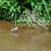 Little Blue Heron (?), Waipi'o Valley, Honokaa, HI
