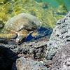 Sea turtle, Hilton Waikokoa, Waikaloa Village, HI
