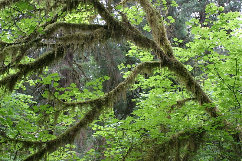 RAIN FOREST AT OLYMPIC NATIONAL PARK WASHINGTON STATE ; JULY 2004