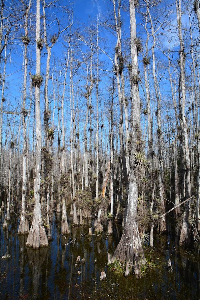 Big Cyprus National Reserve , Florida ; Jan 2014