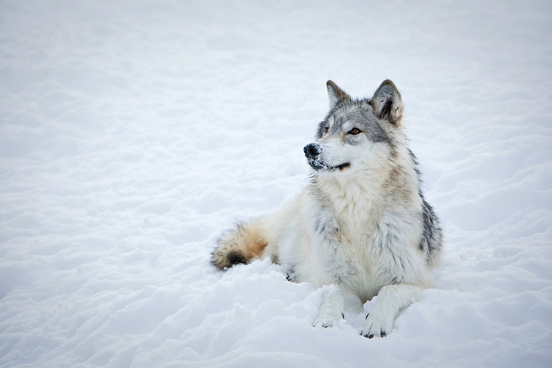 Wolf after nose in snow.