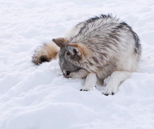 Wolf with nose in snow