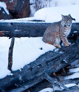 Bobcat in Yellowstone.