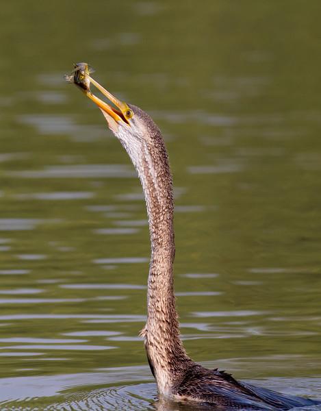Snake bird fishing