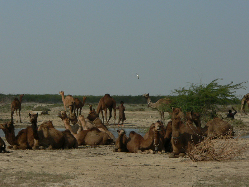 Camels resting in an oasis (of sorts)