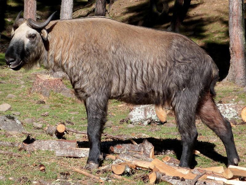 Takin - national animal of Bhutan, Takin Preserve, Thimphu