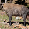 Takin - national animal of Bhutan, Takin Preserve, Thimphu