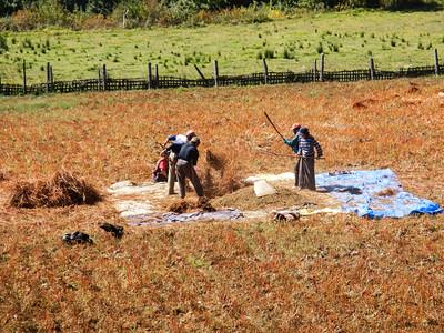 Harvesting buckwheat.