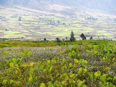 Turnip fields.