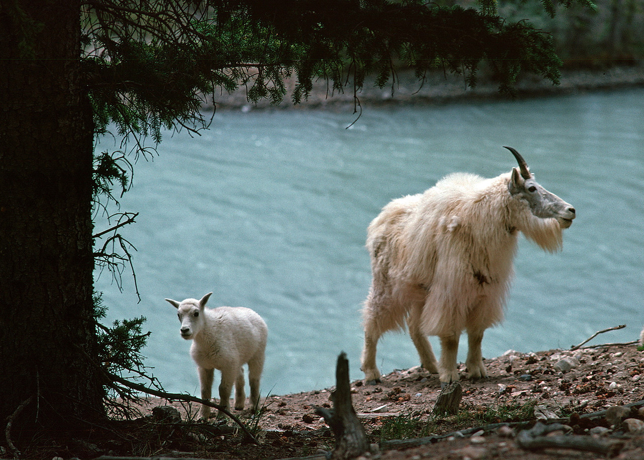 Mountain goats, adult and lamb.  Canadian Rockies, summer 1977.