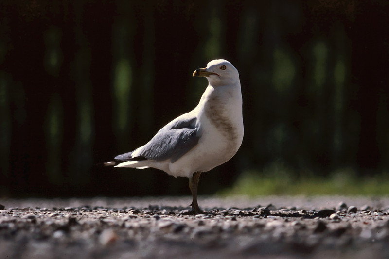 Sea gull, begging for peanuts in our campground (Day 4). Alberta, Canada, June 1977.