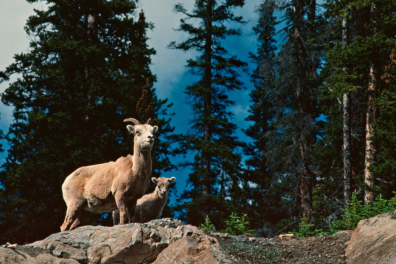 Mountain sheep - a ewe and a lamb. Canadian Rockies, summer 1977.