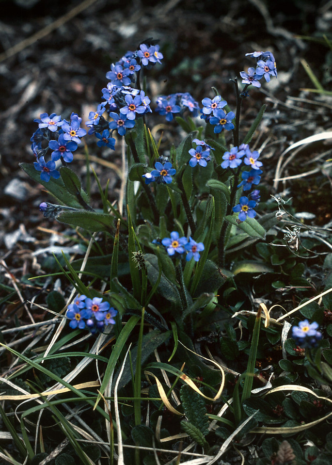 Tiny blue alpine flowers growing high up in the Canadian Rockies.