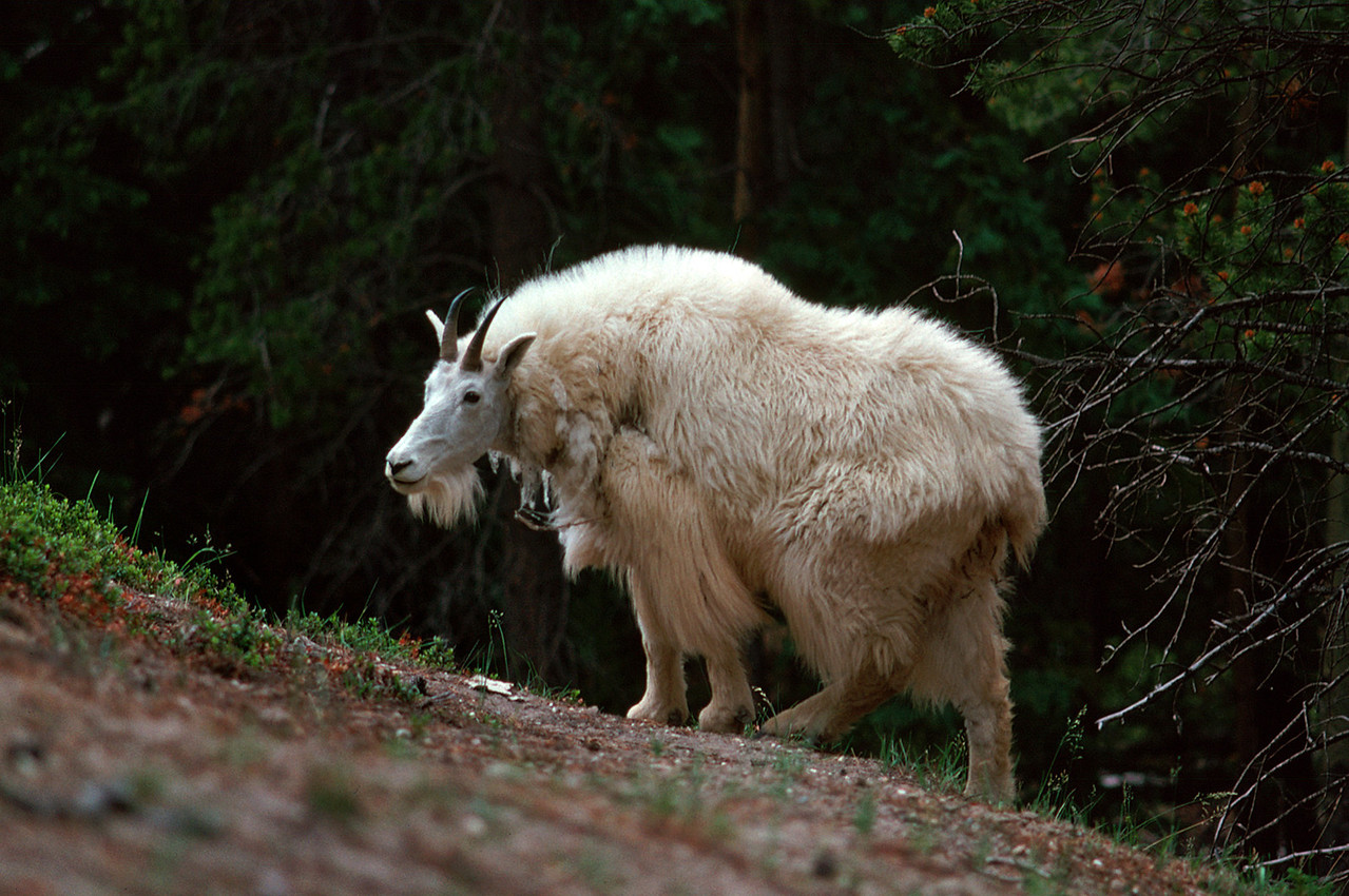 Shaggy mountain goat. Canadian Rockies, summer 1977.