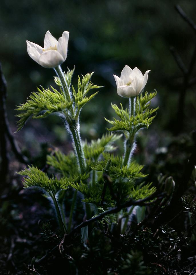 White alpine flowers, Canadian Rockies. Perhaps an anemone?