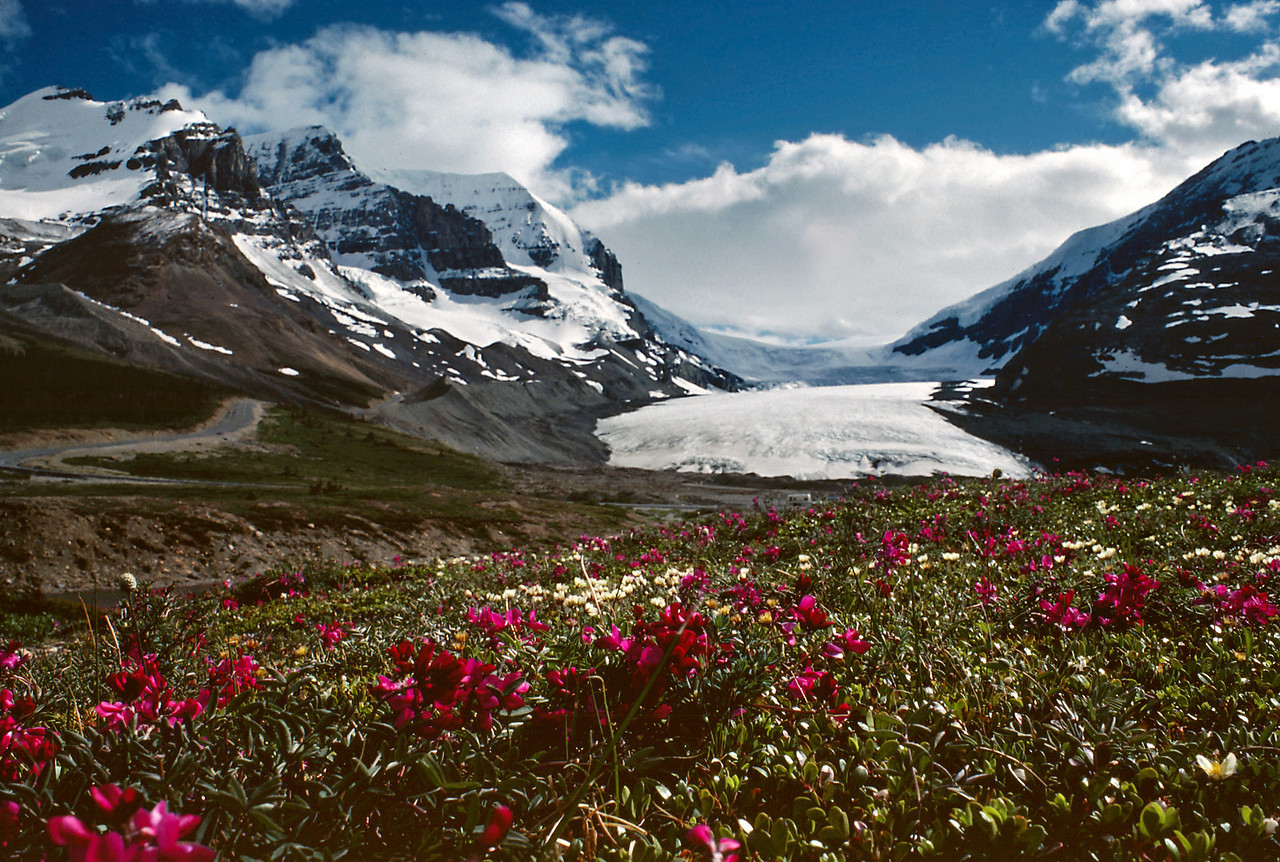 Alpine flowers and glacier. Canadian Rockies, summer 1977.