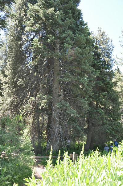 The champion lodgepole pine.