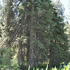 The champion lodgepole pine.