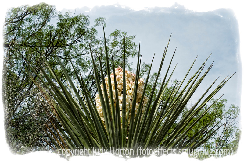 The emerging bloom on a yucca in Big Bend National Park in Texas; look at the image in a larger size to see the detail