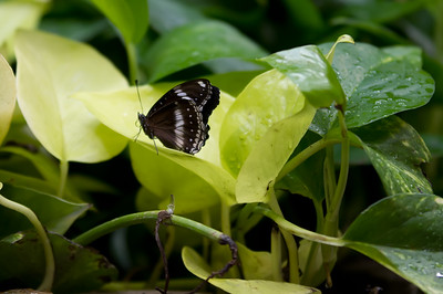 Butterly at the Butterfly Palace in Branson, MO