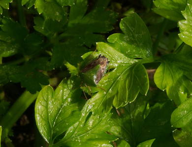 Shield Beetle - Pentatomoidea