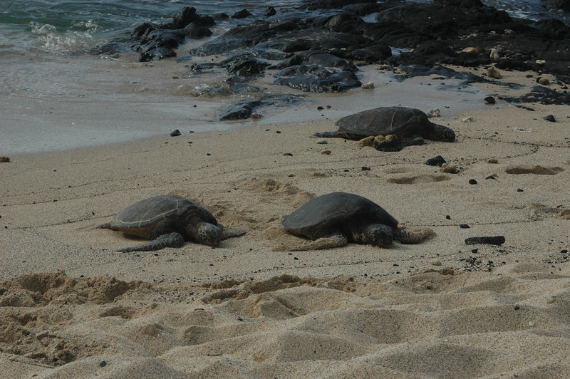 Hawaiian Green Sea Turtles would come up on the beach outside our room every day.