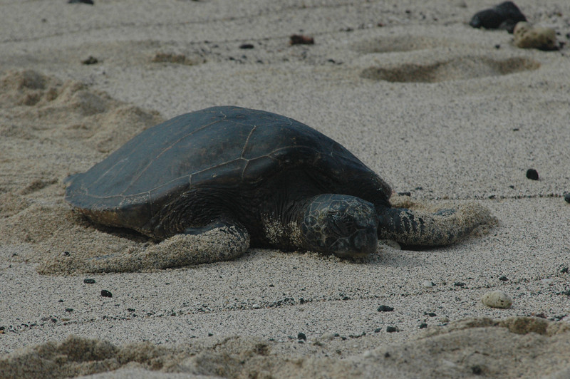 The turtles would just lay on the beach all day.  Can you blame them?
