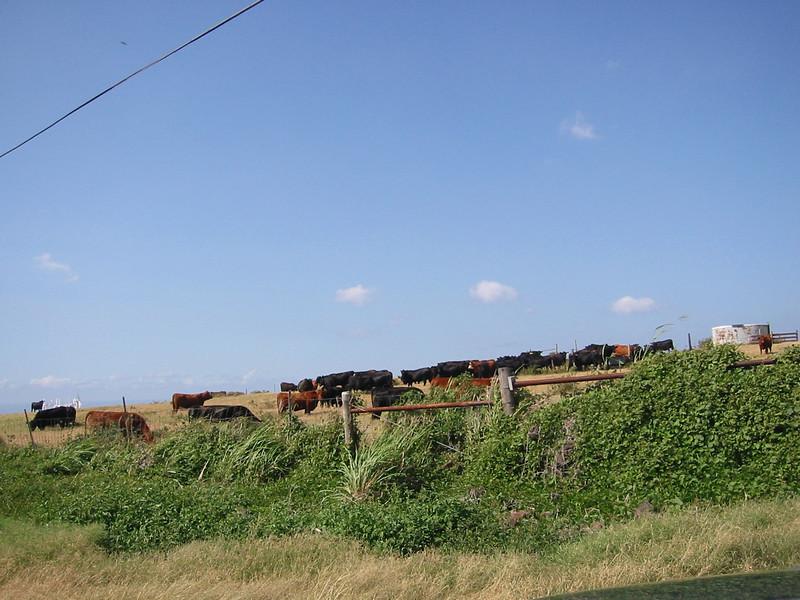 Moooooo Cows