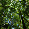 The beautiful Palm Canopy near Onomea Falls.