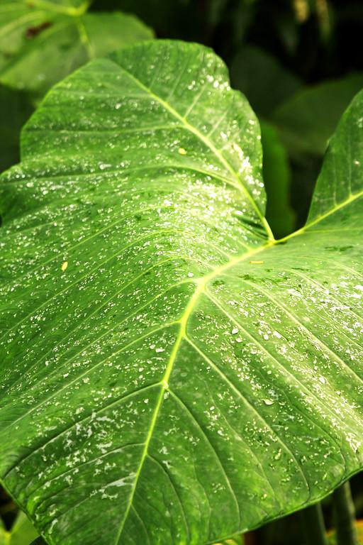 A Very Big Leaf.