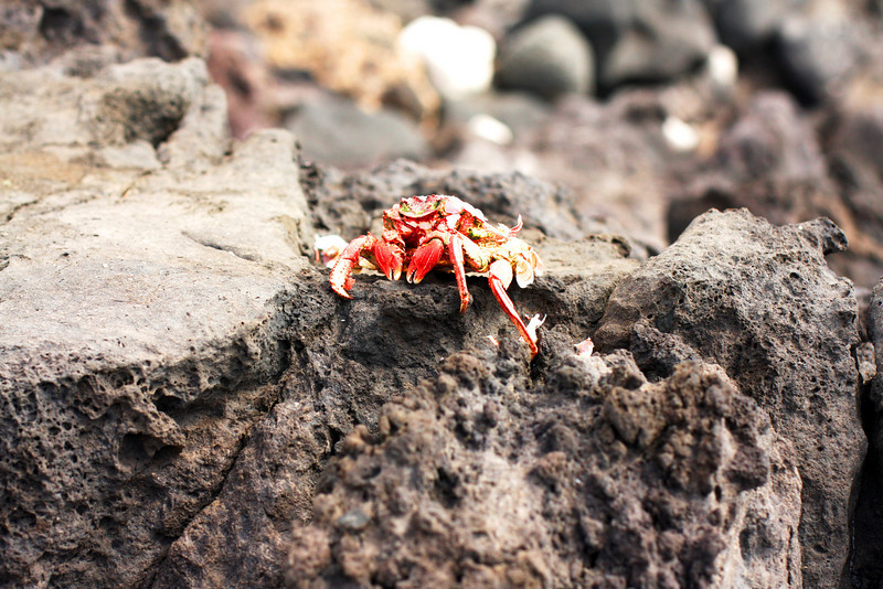 This is not a crab. This is a dead crab's shell. On a lava rock.