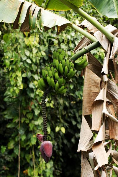 A banana tree.