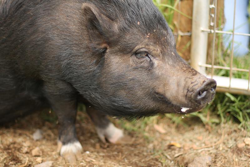 Kendra's pig, Ophelia.