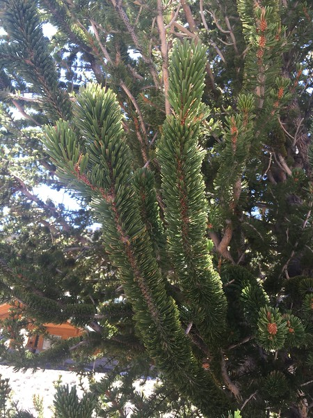 Bristlecone Pine has needles along the branches that look like a bristle brush.