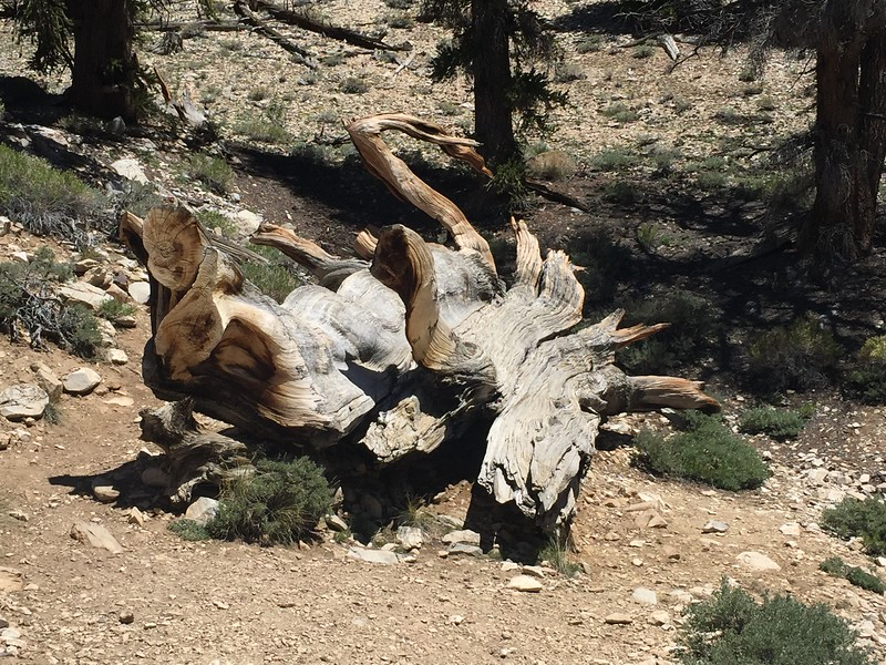 The Bristlecone wood is very dense, since it grows very slowly.
