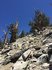 The bristlecone pines like the dolomite talus rocky soil.