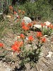 Indian paintbrush in bloom.