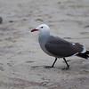 Red Beak Seagull