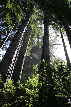 Coast Redwoods. Although these trees once ranged across Asia and North America, their range is now confined to the California coast from Oregon to Monterey County.
